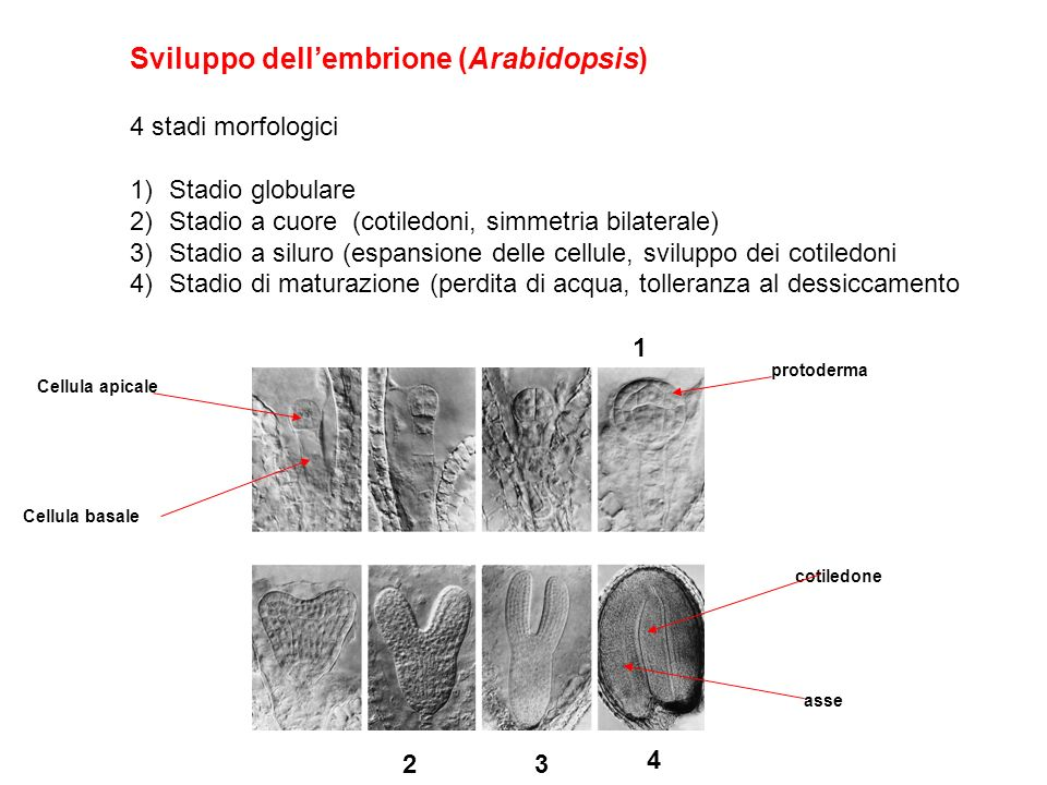 Sviluppo dell'embrione (Arabidopsis)