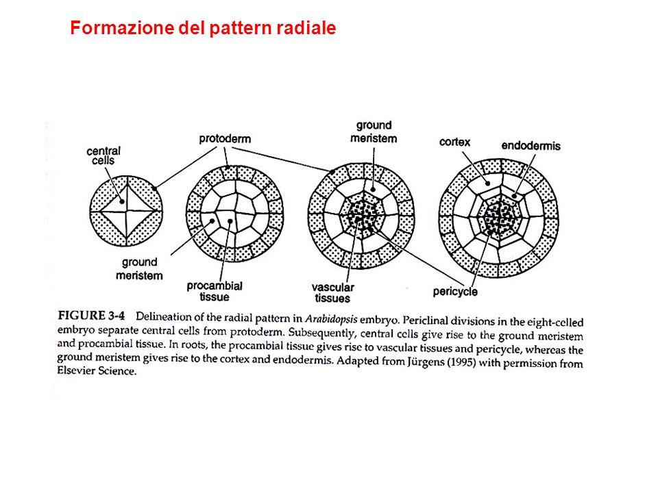 Formazione del pattern radiale