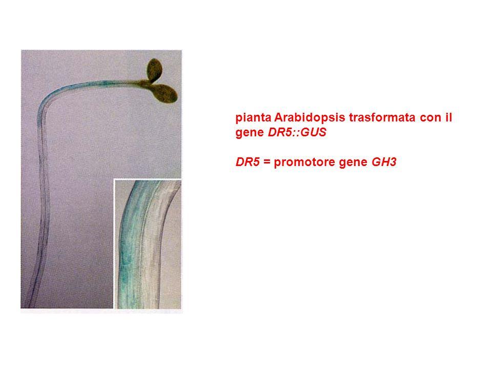 pianta Arabidopsis trasformata con il gene DR5::GUS