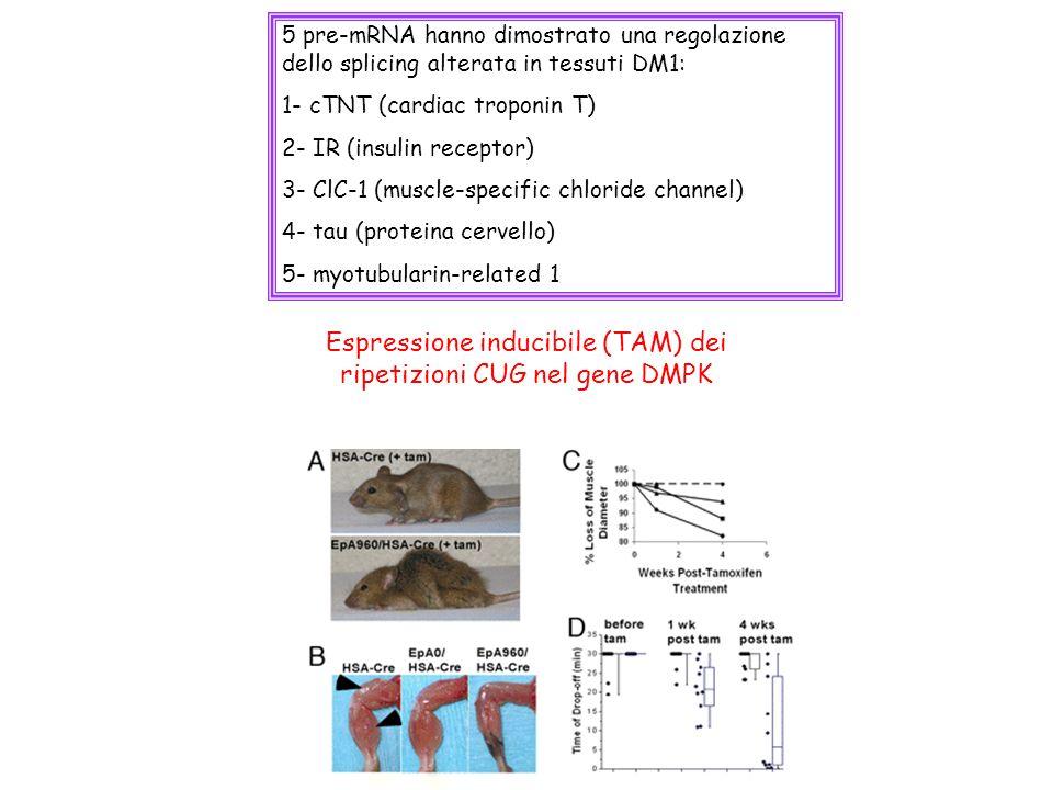 Espressione inducibile (TAM) dei ripetizioni CUG nel gene DMPK