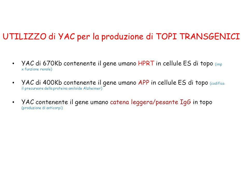 UTILIZZO di YAC per la produzione di TOPI TRANSGENICI