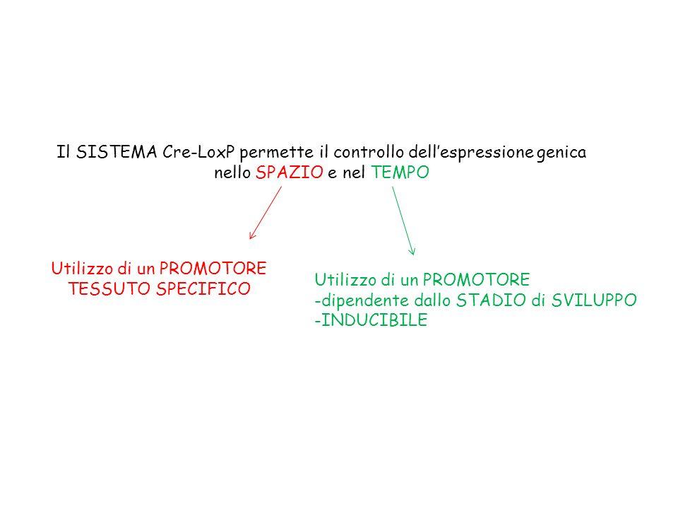Il SISTEMA Cre-LoxP permette il controllo dell'espressione genica