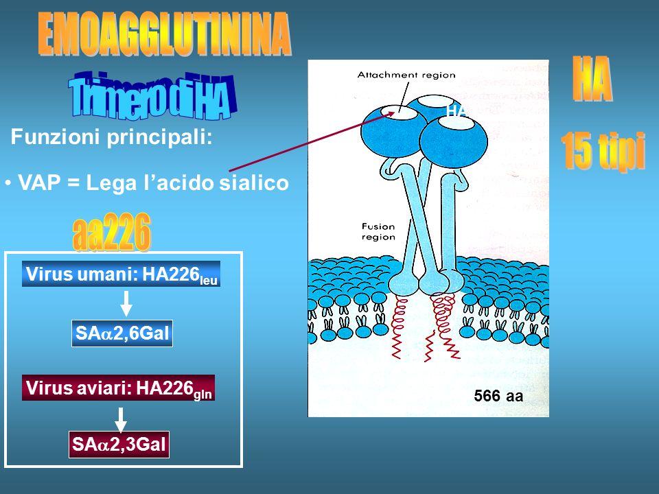 EMOAGGLUTININA HA Trimero di HA 15 tipi aa226 Funzioni principali: