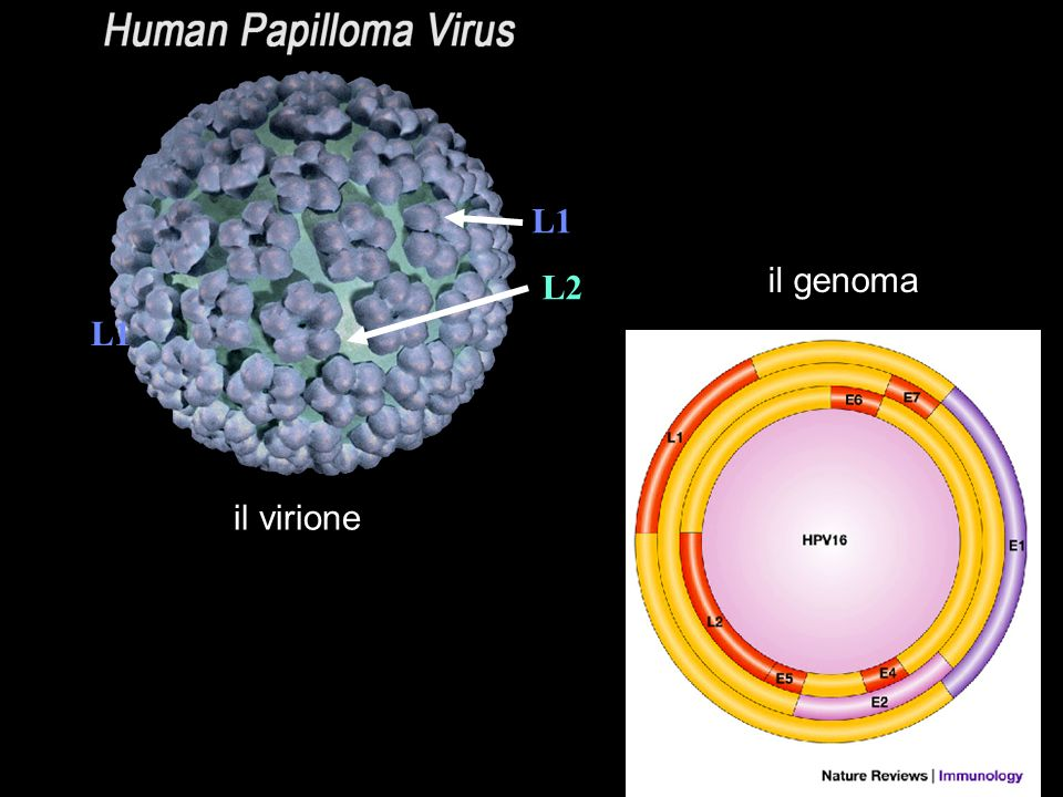 L1 il genoma L1 L2 il virione