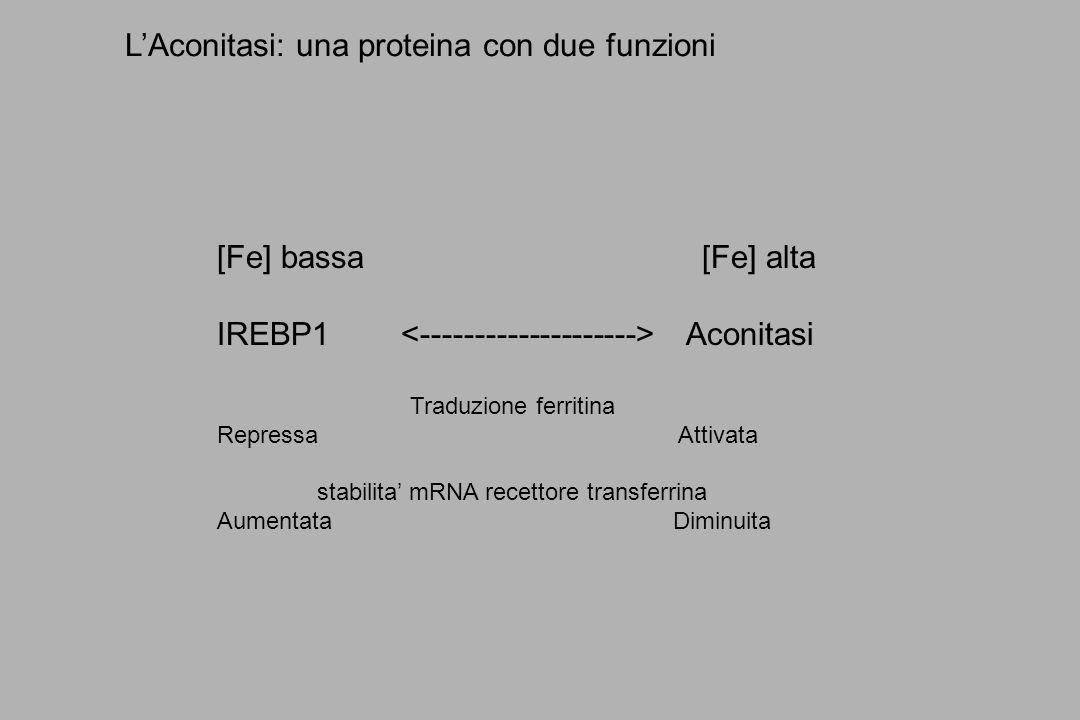 L'Aconitasi: una proteina con due funzioni