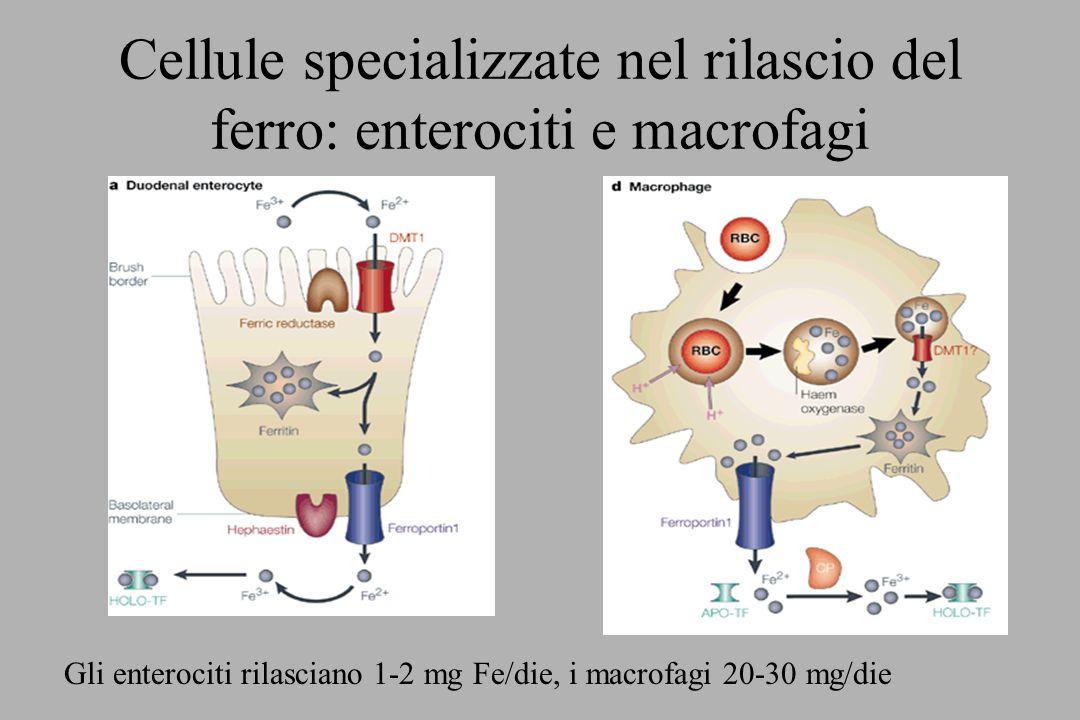 Cellule specializzate nel rilascio del ferro: enterociti e macrofagi