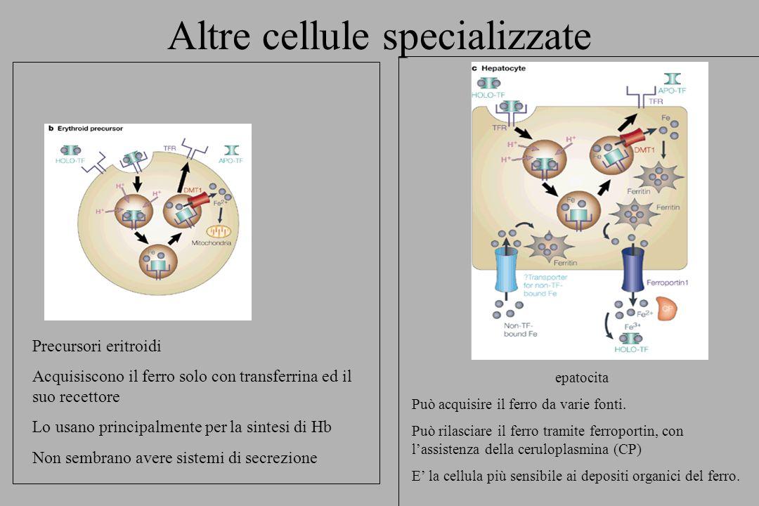 Altre cellule specializzate