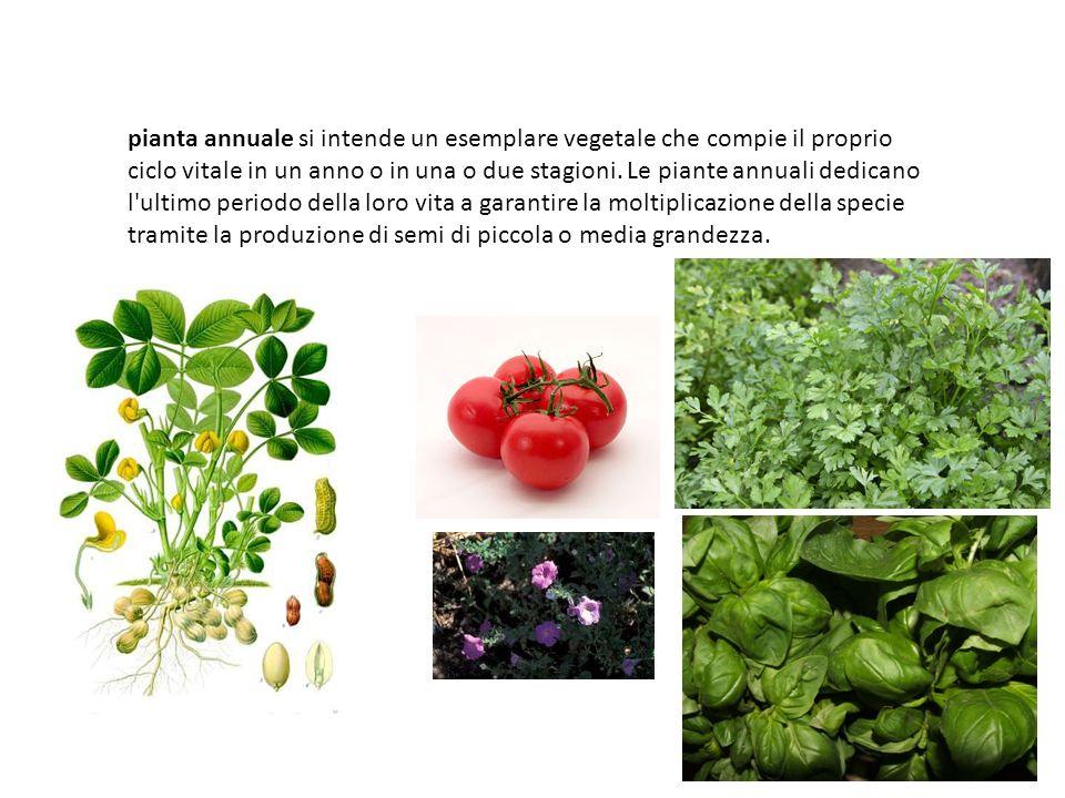 pianta annuale si intende un esemplare vegetale che compie il proprio ciclo vitale in un anno o in una o due stagioni.