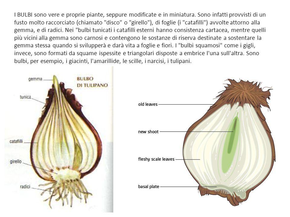 I BULBI sono vere e proprie piante, seppure modificate e in miniatura