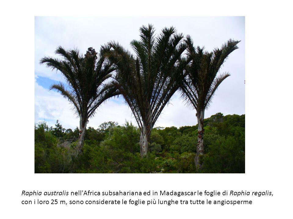 Raphia australis nell Africa subsahariana ed in Madagascar le foglie di Raphia regalis,