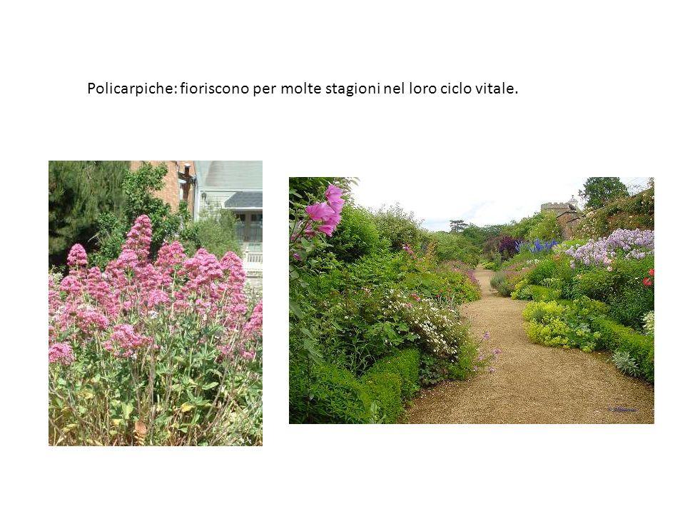Policarpiche: fioriscono per molte stagioni nel loro ciclo vitale.