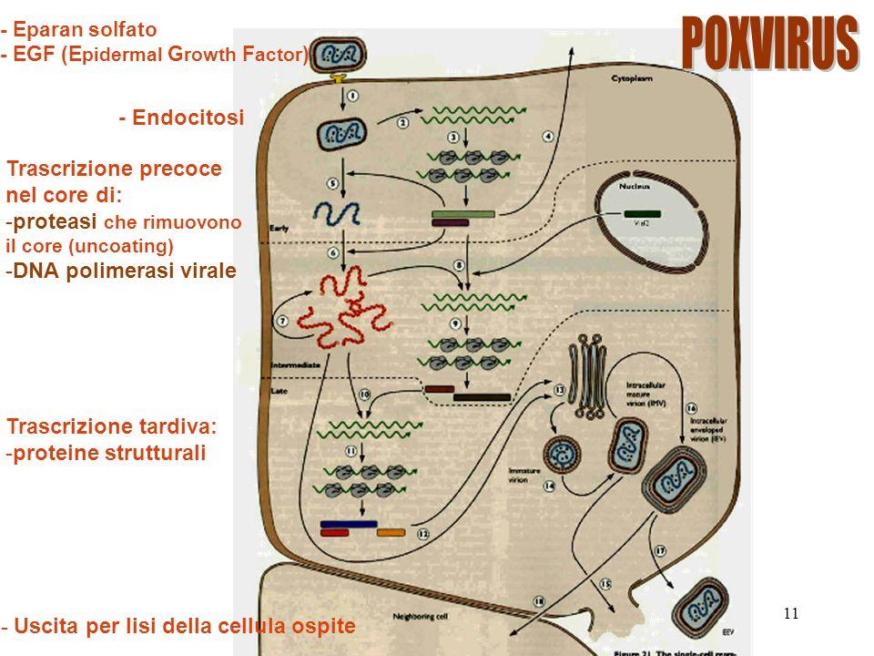 POXVIRUS - Endocitosi Trascrizione precoce nel core di: