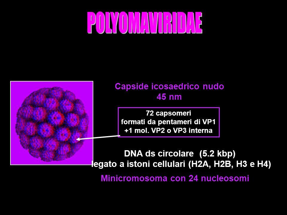 POLYOMAVIRIDAE Capside icosaedrico nudo 45 nm