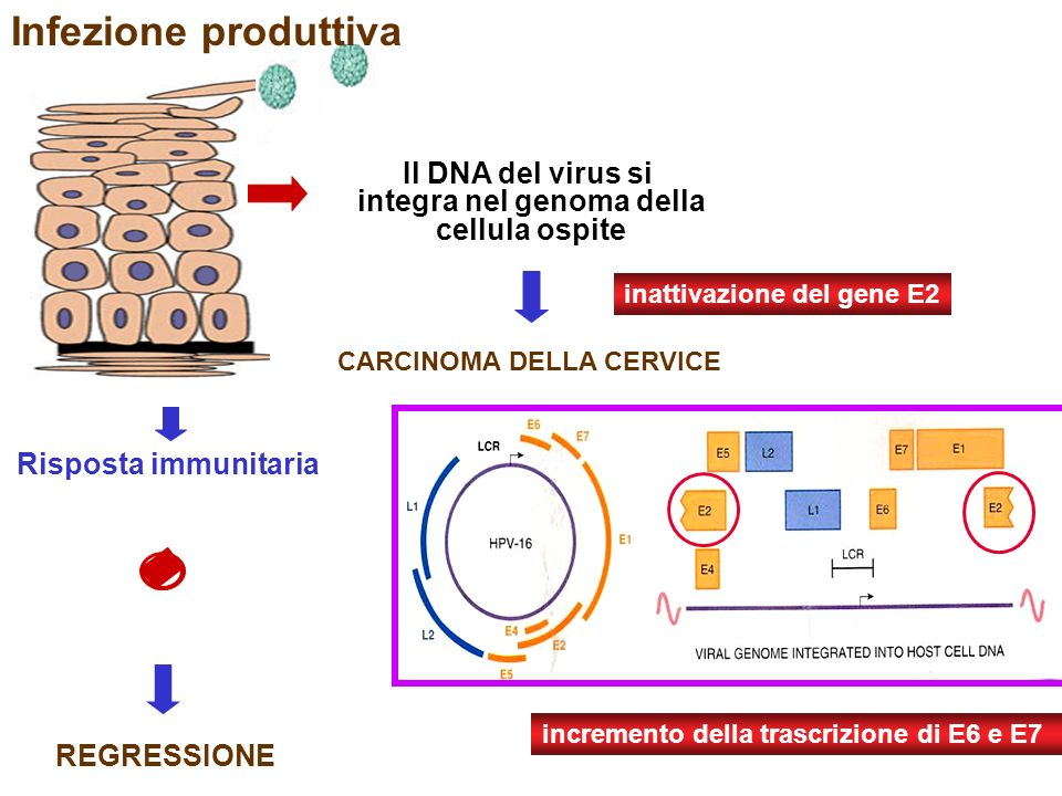 integra nel genoma della