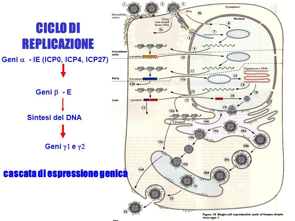 cascata di espressione genica