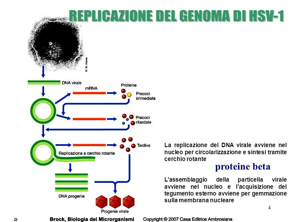 REPLICAZIONE DEL GENOMA DI HSV-1