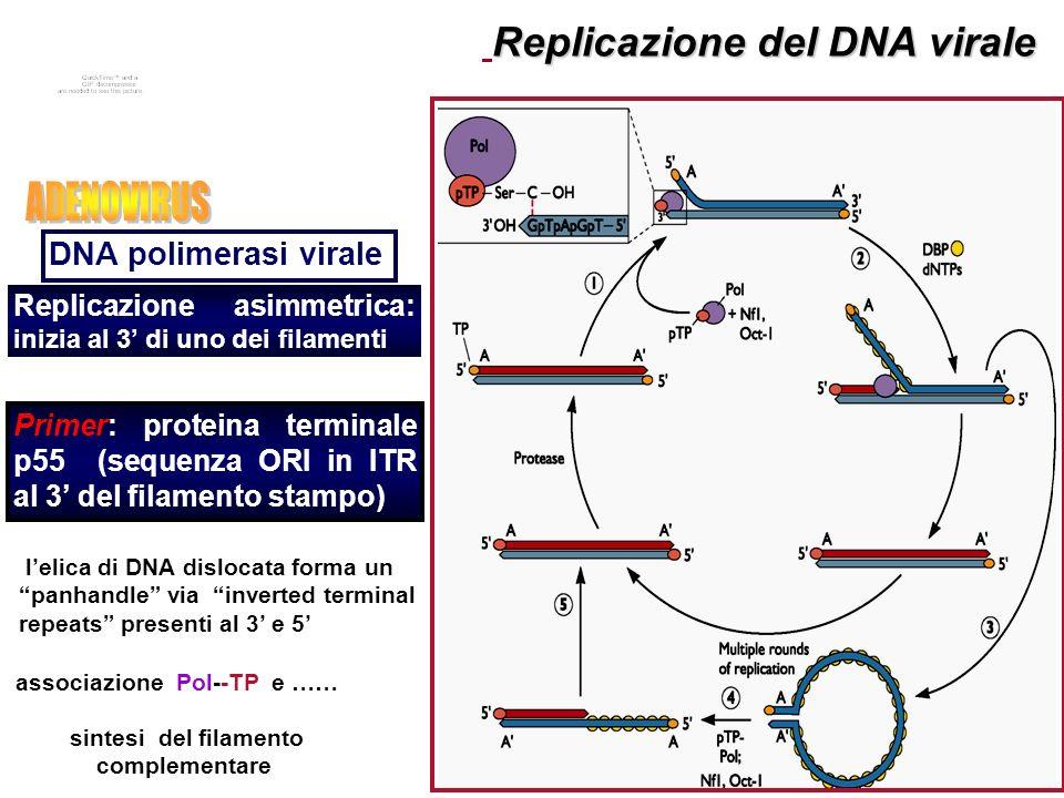 Replicazione del DNA virale