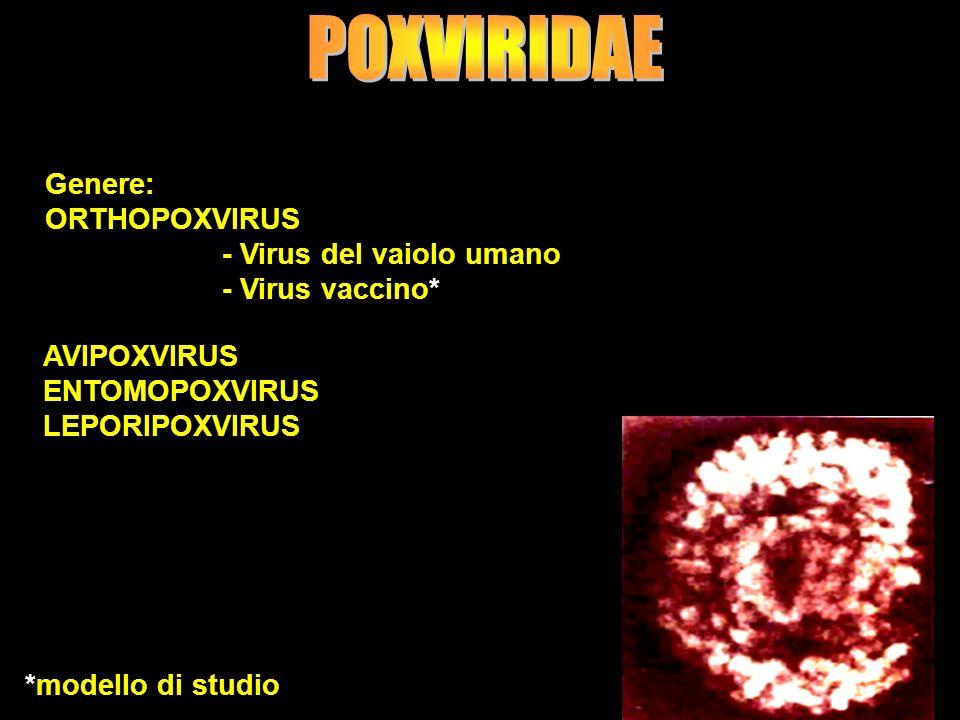 POXVIRIDAE Genere: ORTHOPOXVIRUS - Virus del vaiolo umano