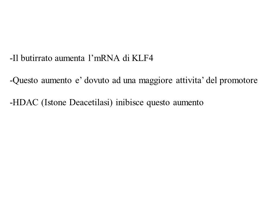 -Il butirrato aumenta l'mRNA di KLF4