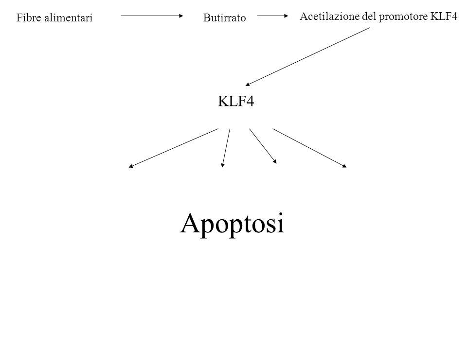 Apoptosi KLF4 Fibre alimentari Butirrato