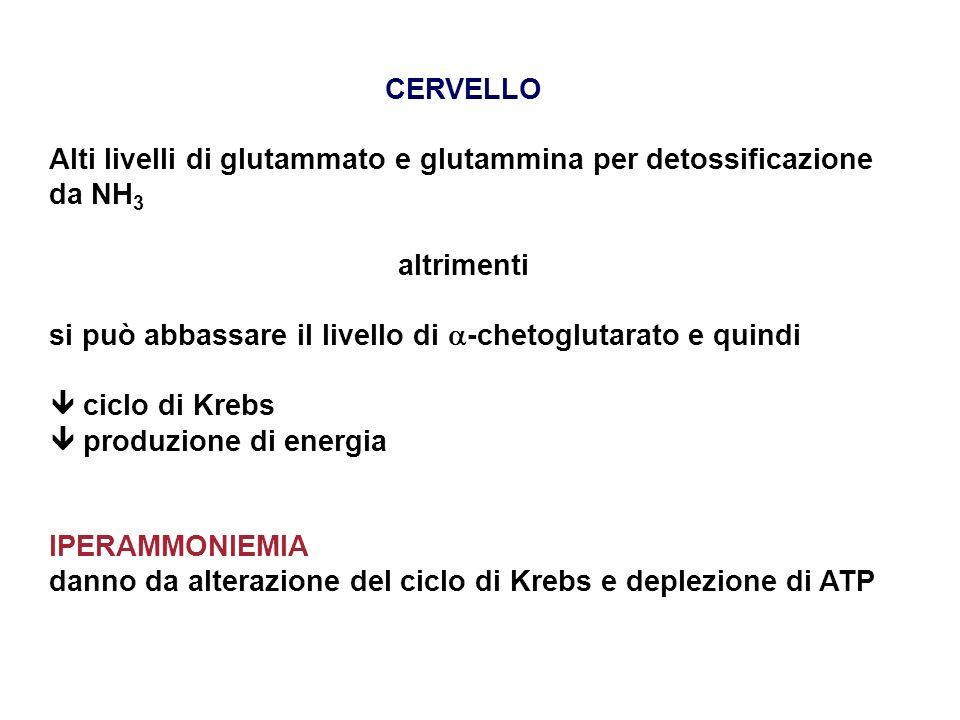 CERVELLO Alti livelli di glutammato e glutammina per detossificazione da NH3. altrimenti. si può abbassare il livello di -chetoglutarato e quindi.