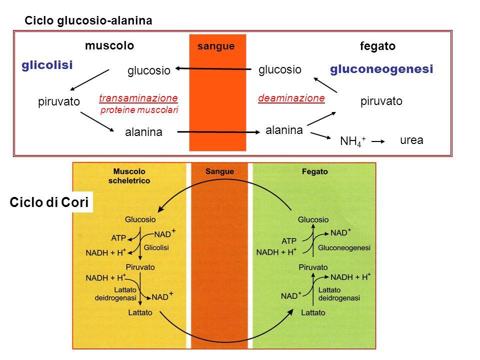 Ciclo di Cori Ciclo glucosio-alanina fegato muscolo glucosio alanina