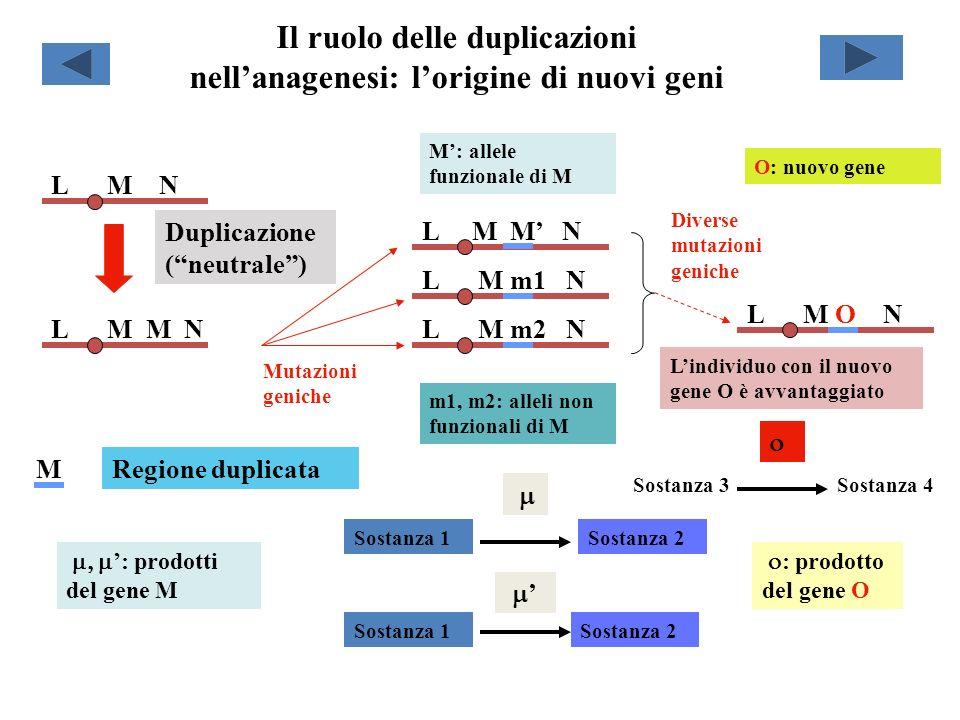 Il ruolo delle duplicazioni nell'anagenesi: l'origine di nuovi geni