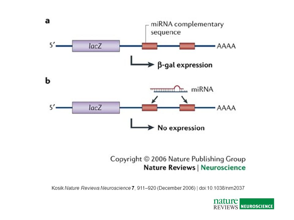 Kosik Nature Reviews Neuroscience 7, 911–920 (December 2006) | doi:10