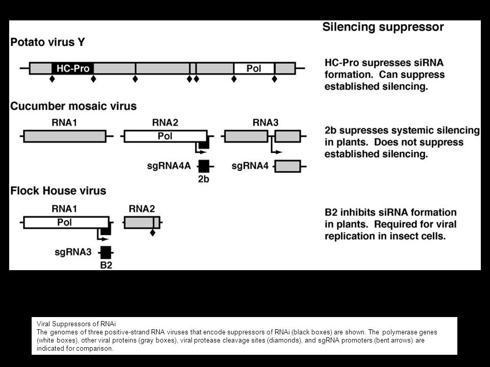 Viral Suppressors of RNAi