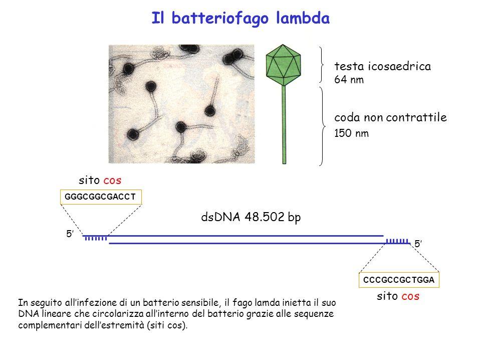 Il batteriofago lambda