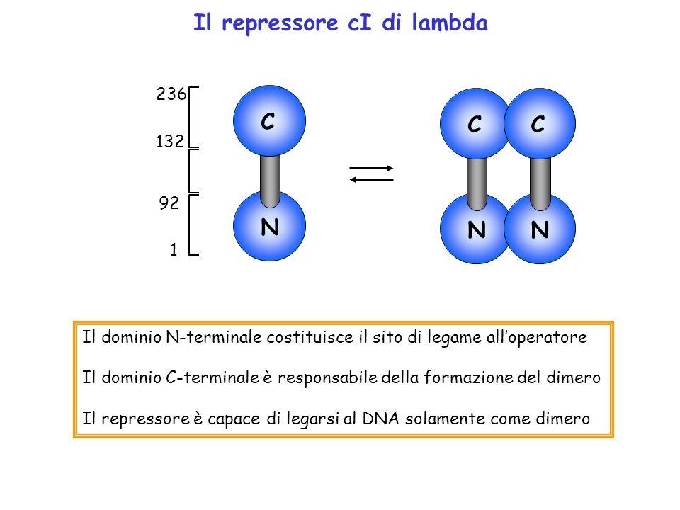 Il repressore cI di lambda