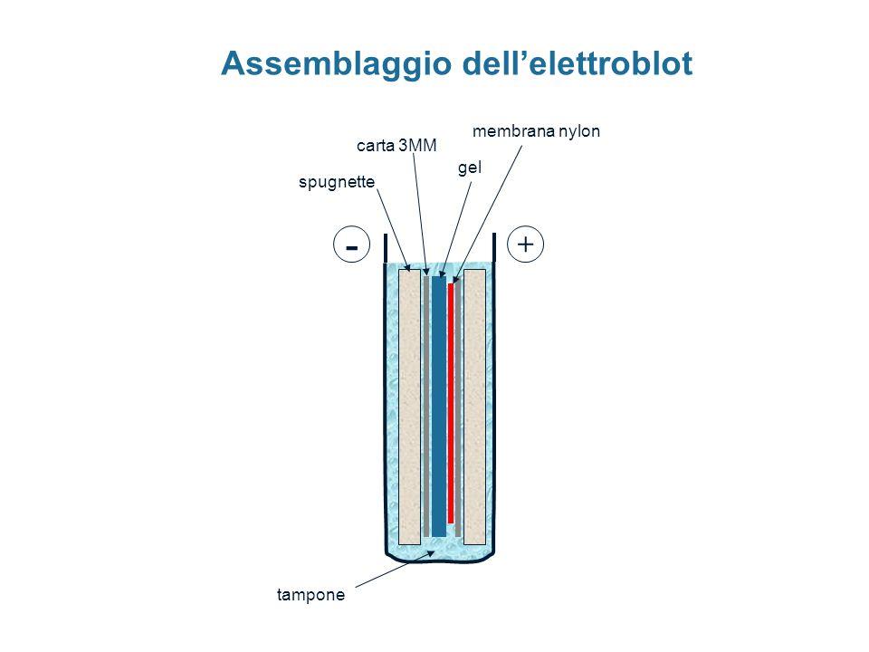 Assemblaggio dell'elettroblot