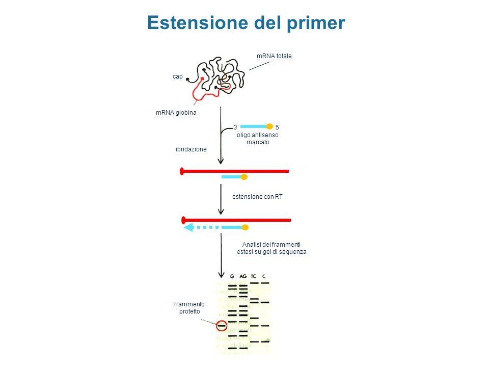 Estensione del primer mRNA totale cap mRNA globina 3' 5'