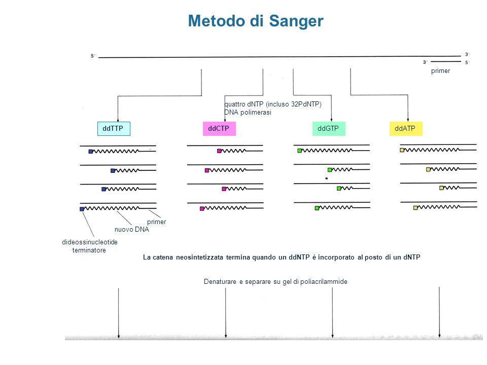Metodo di Sanger primer quattro dNTP (incluso 32PdNTP) DNA polimerasi