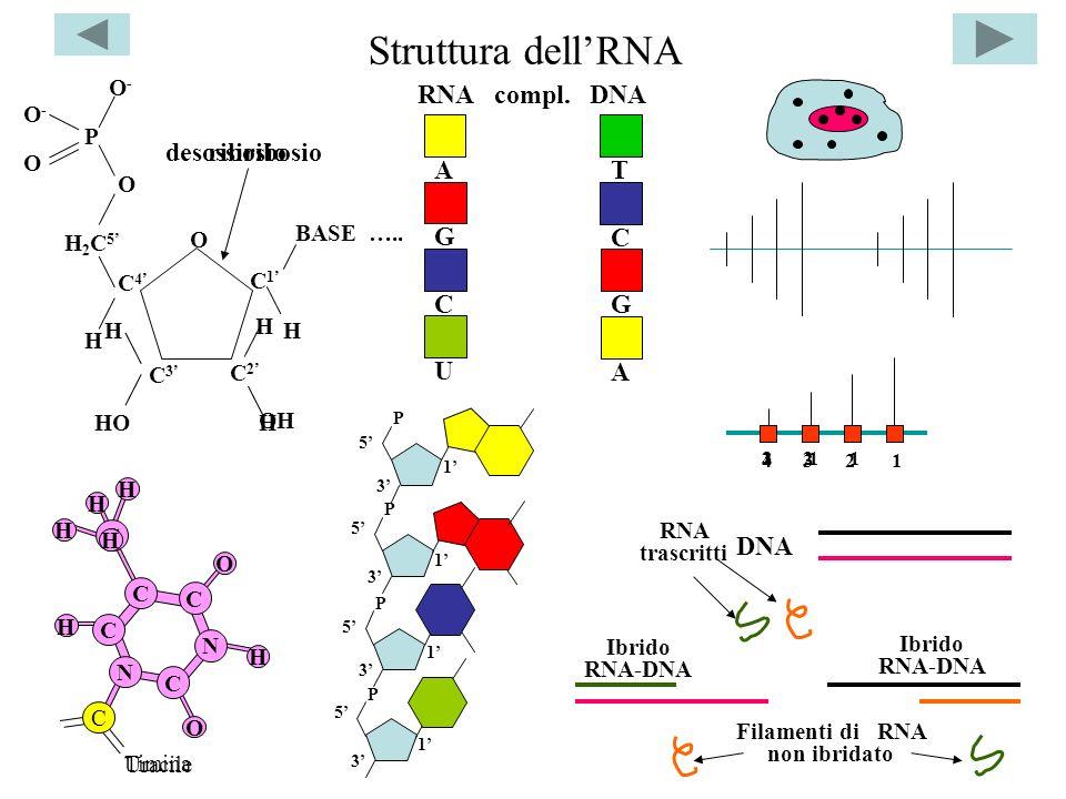 Filamenti di RNA non ibridato