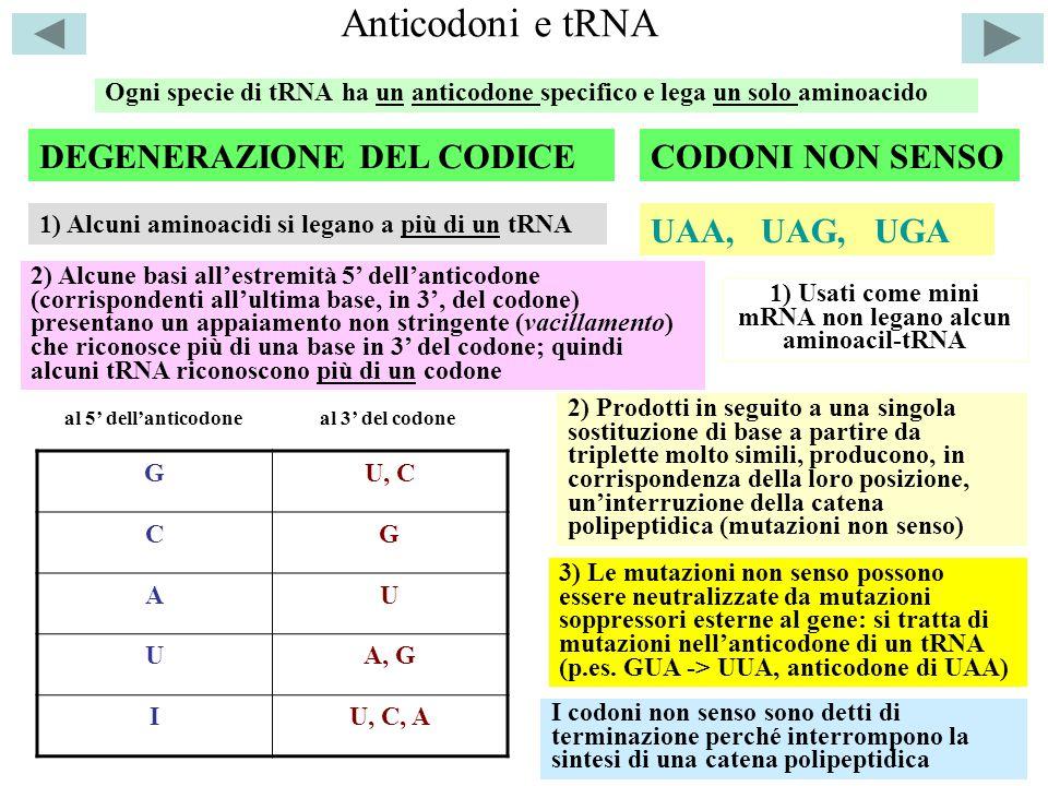 1) Usati come mini mRNA non legano alcun aminoacil-tRNA