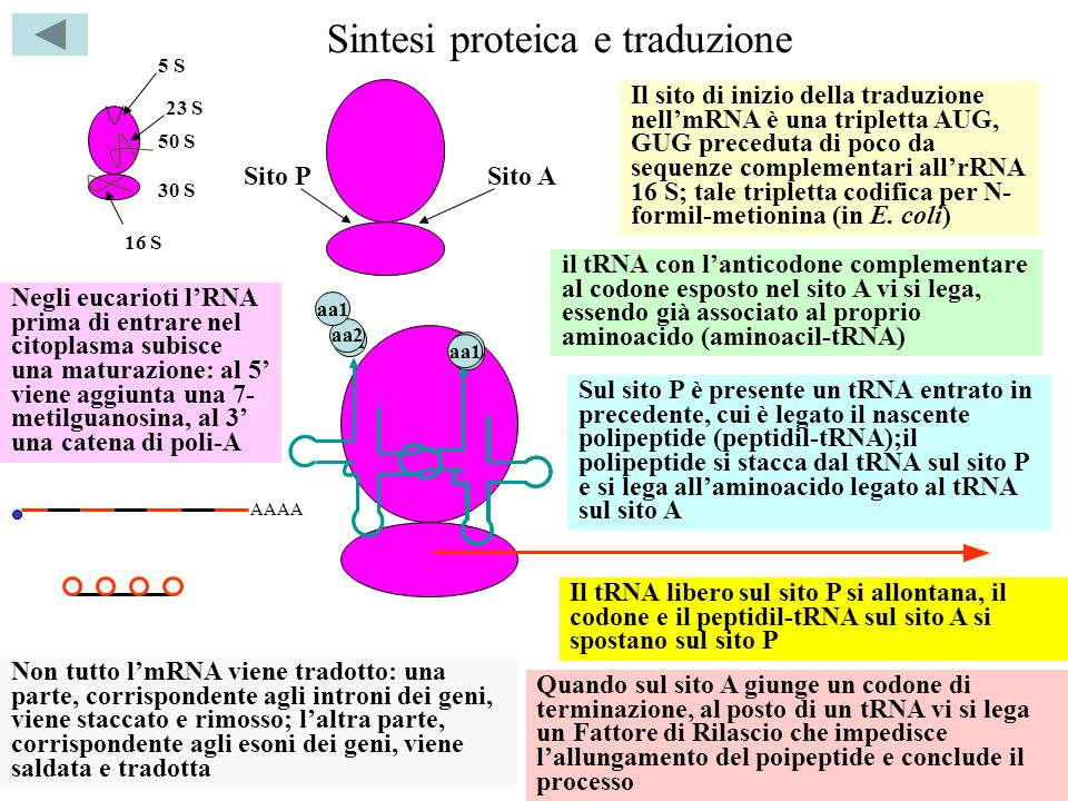 Sintesi proteica e traduzione