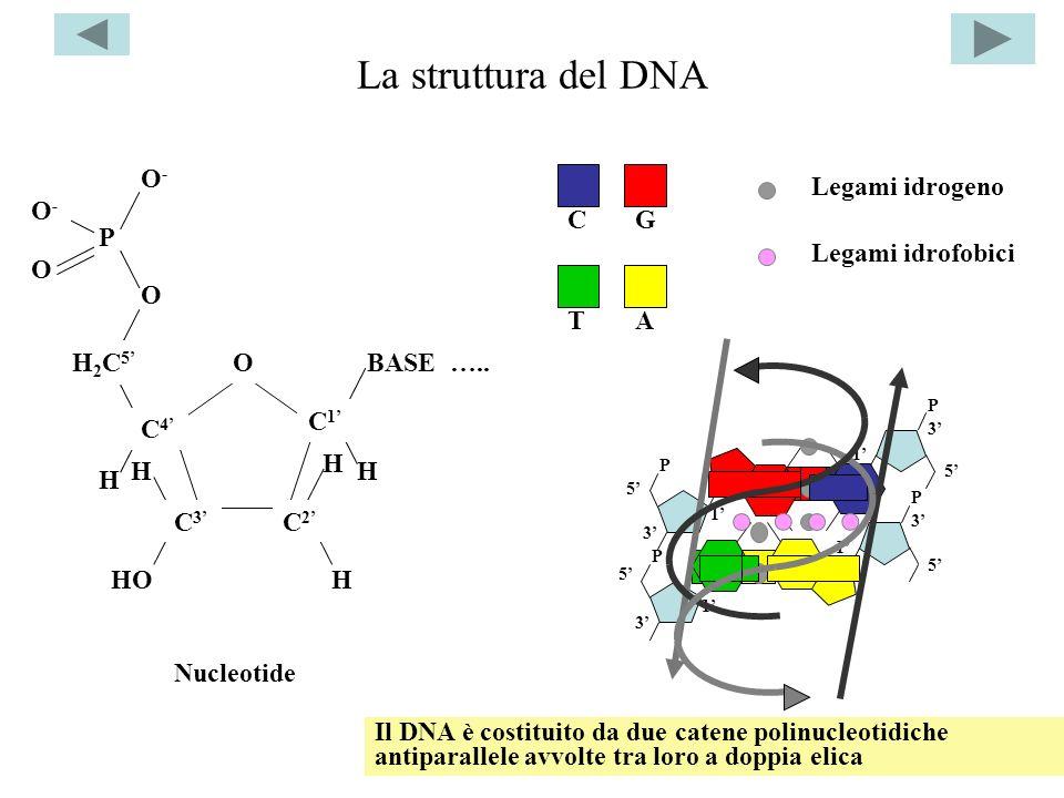 La struttura del DNA H HO H2C5' O BASE ….. C4' C3' C2' C1' P O- C G