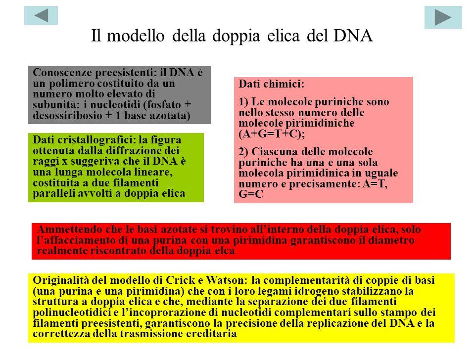 Il modello della doppia elica del DNA
