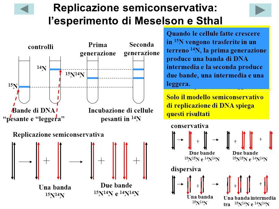 Replicazione semiconservativa: l'esperimento di Meselson e Sthal