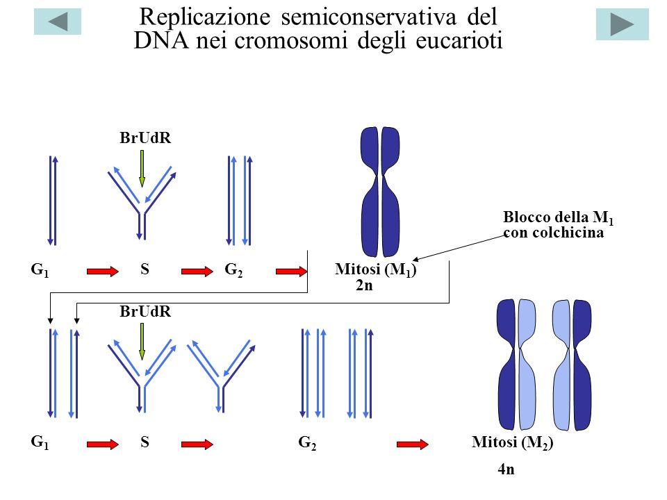 Replicazione semiconservativa del DNA nei cromosomi degli eucarioti