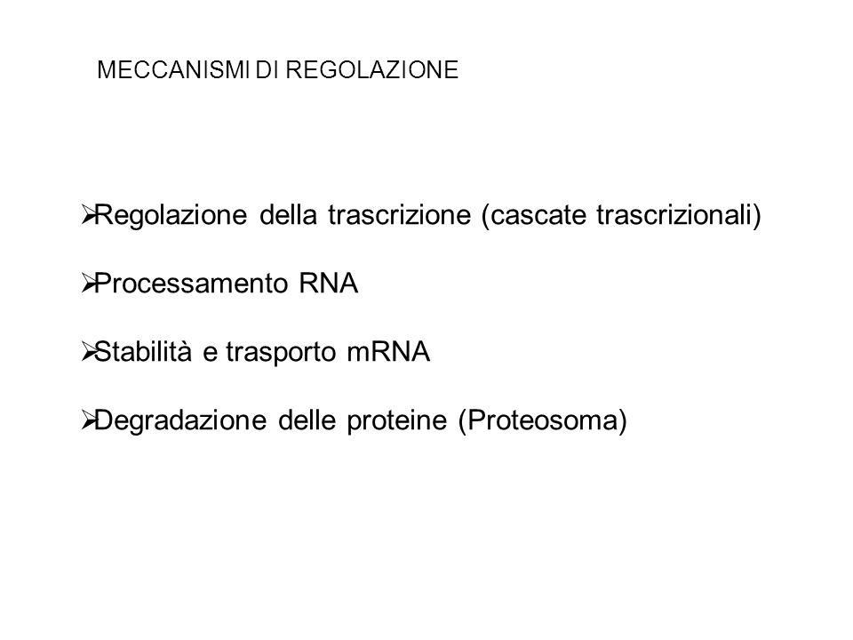 Regolazione della trascrizione (cascate trascrizionali)