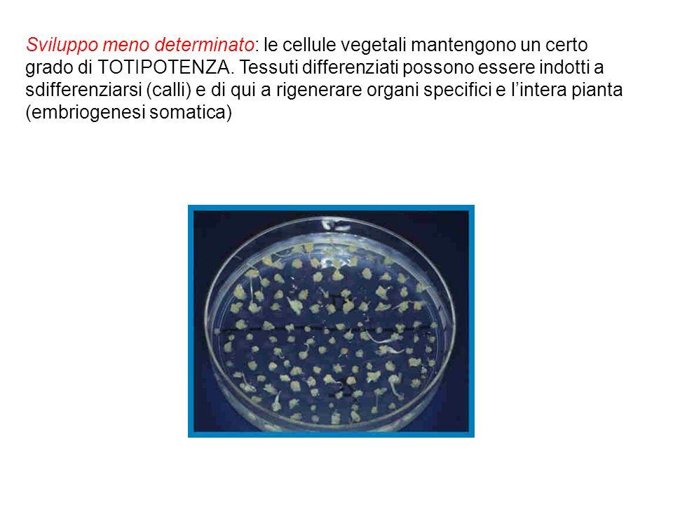Sviluppo meno determinato: le cellule vegetali mantengono un certo