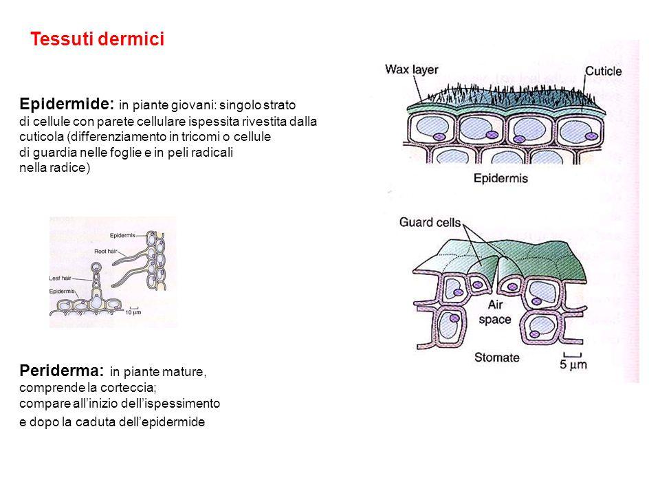 Tessuti dermici Epidermide: in piante giovani: singolo strato