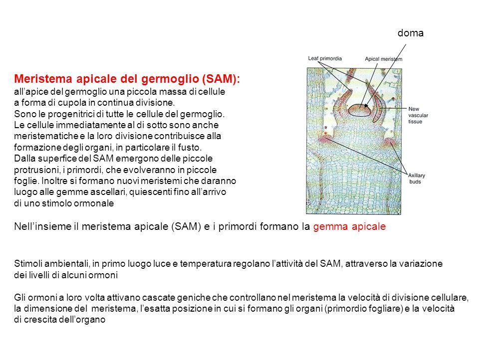 Meristema apicale del germoglio (SAM):