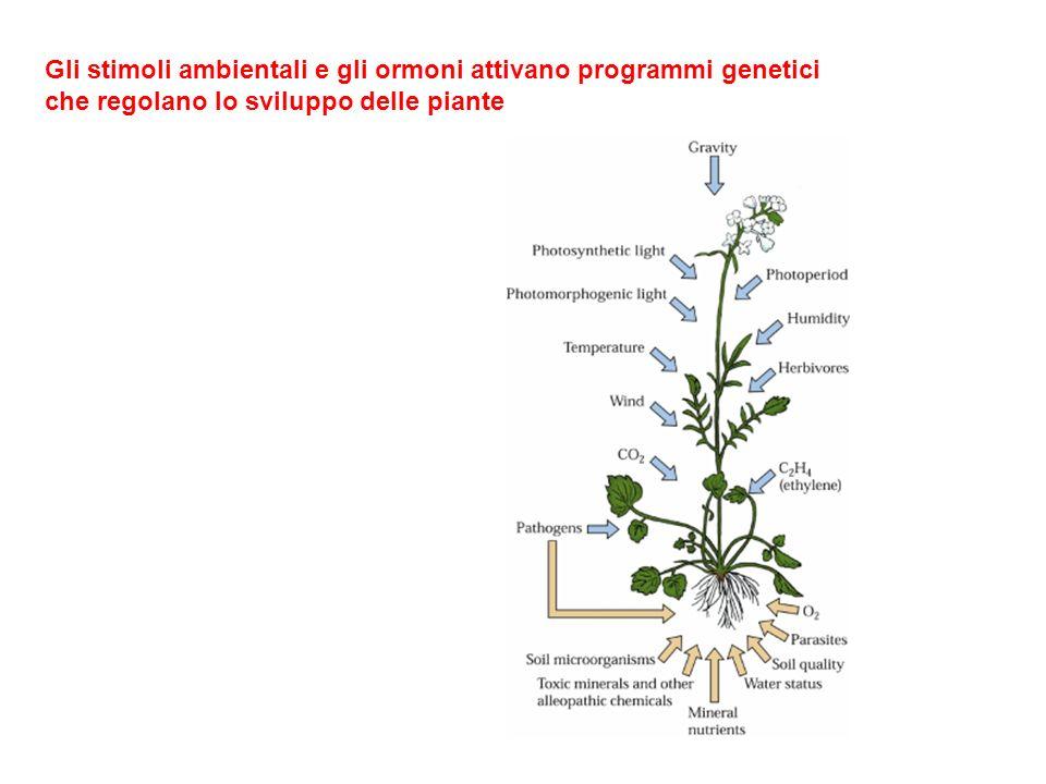 Gli stimoli ambientali e gli ormoni attivano programmi genetici