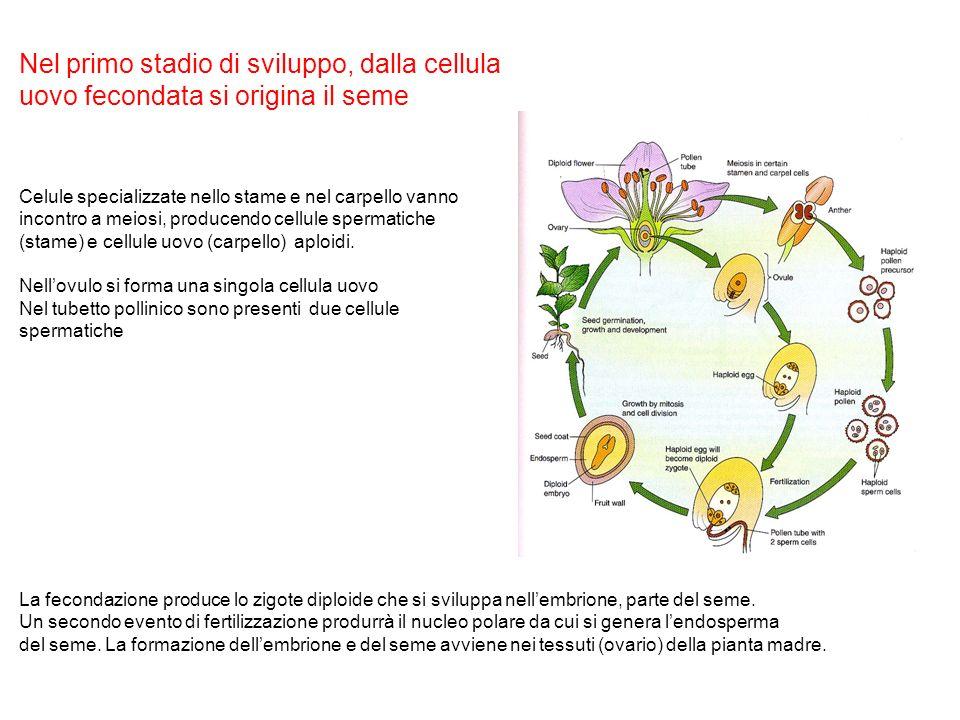 Nel primo stadio di sviluppo, dalla cellula
