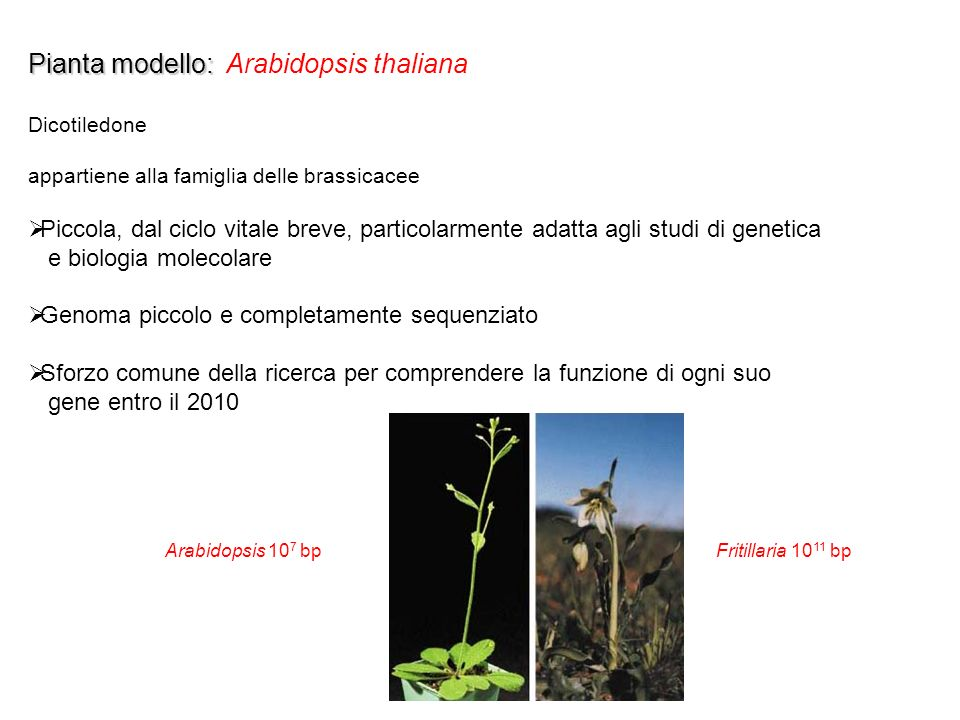 Pianta modello: Arabidopsis thaliana