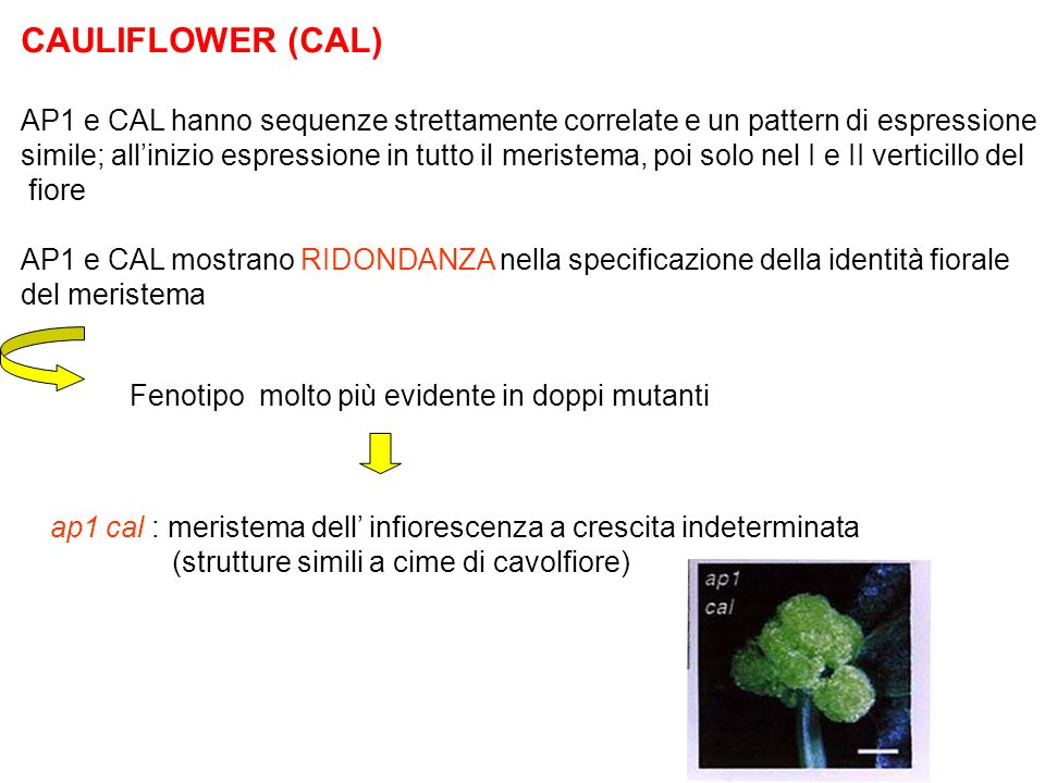 CAULIFLOWER (CAL) AP1 e CAL hanno sequenze strettamente correlate e un pattern di espressione.