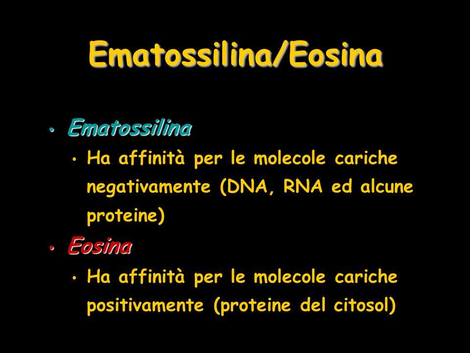 Ematossilina/Eosina Ematossilina Eosina